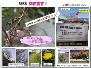 49期ASKA標本木と開花宣言!